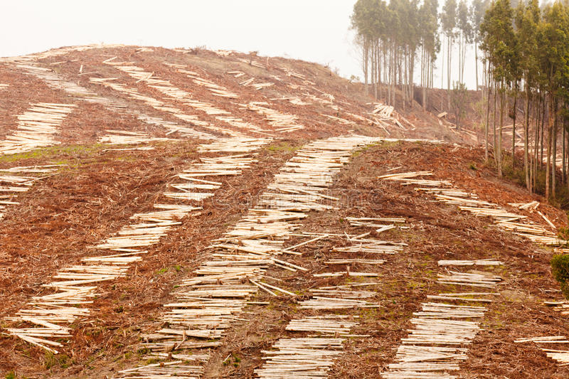 Vast clearcut Eucalyptus forest for timber harvest. Deforestation of hillside by clearcutting mature Eucalyptus forest for timber harvest stock photo