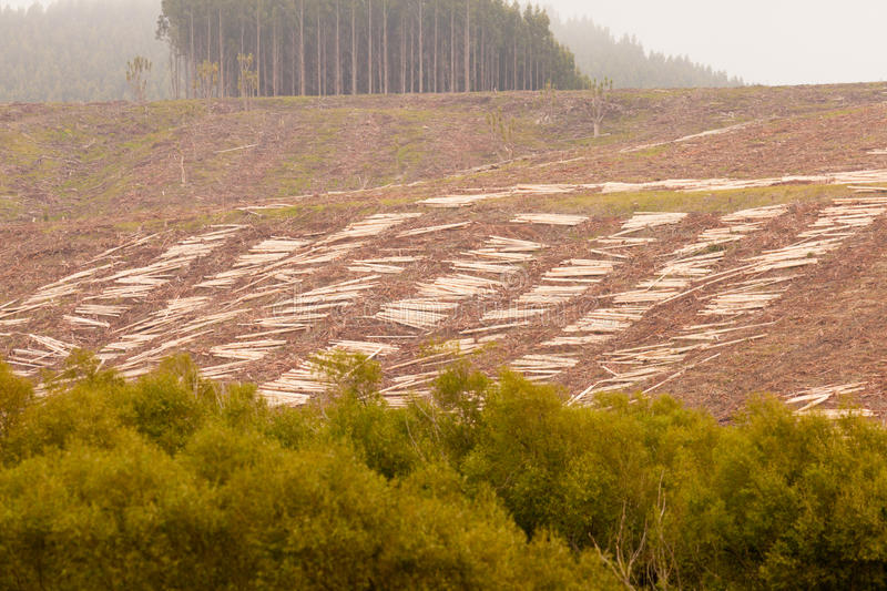 Vast clearcut Eucalyptus forest for timber harvest. Deforestation of hillside by clearcutting mature Eucalyptus forest for timber harvest royalty free stock photos