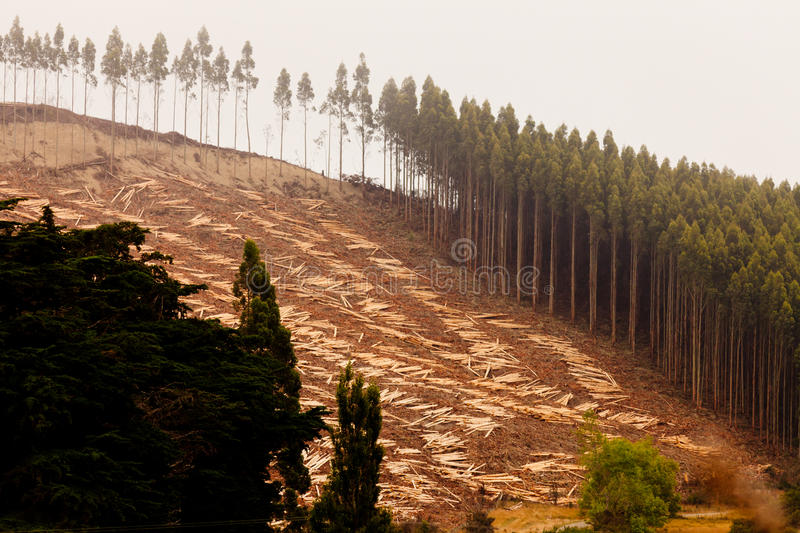 Vast clearcut Eucalyptus forest for timber harvest. Deforestation of hillside by clearcutting mature Eucalyptus forest for timber harvest stock photos
