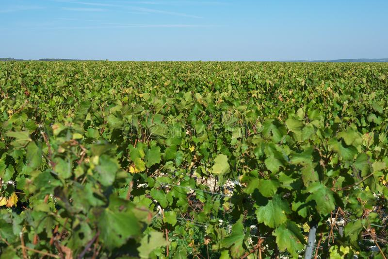 Vast plantation of grape or vineyard in Chablis, Bourgogne, in autumn. Chablis,France-October 16, 2018: Vast plantation of grape or vineyard in Chablis stock photo
