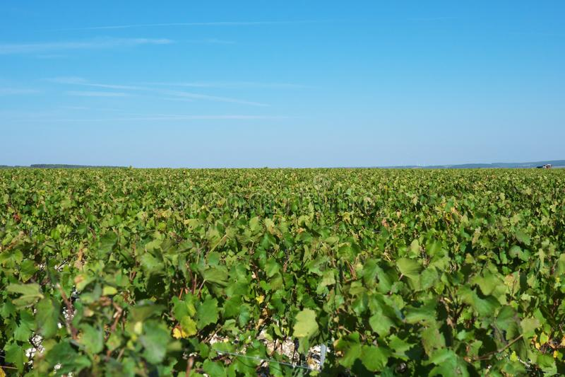 Vast plantation of grape or vineyard in Chablis, Bourgogne, in autumn. Chablis,France-October 16, 2018: Vast plantation of grape or vineyard in Chablis royalty free stock photo