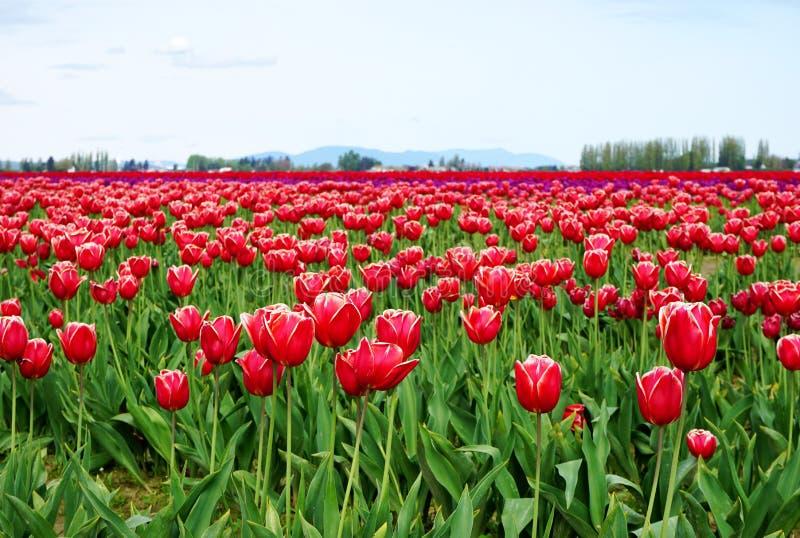 Vaste champ de belles fleurs rouges et blanches de tulipe s'étendant à l'horizon photo stock