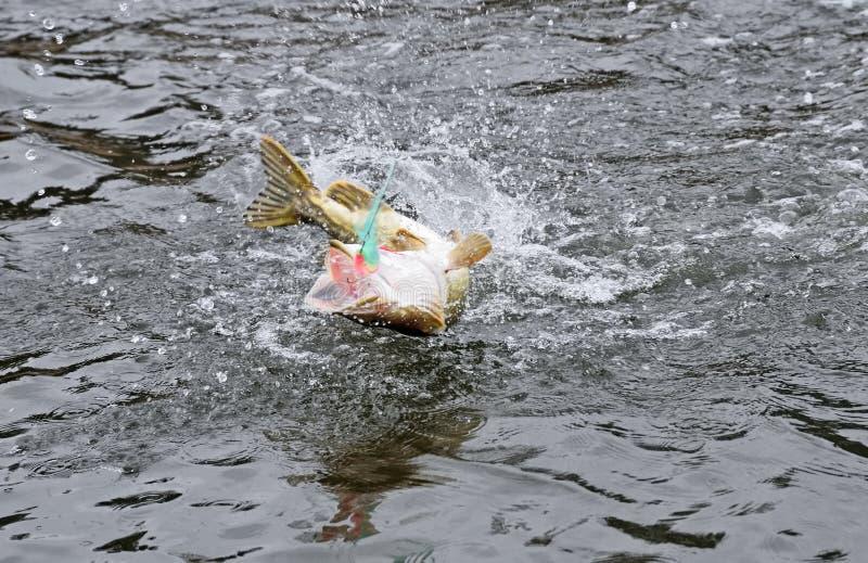 Vastgehaakte snoeken die en uit het water met snoeken visserijvlieg vechten springen in de mond stock foto's