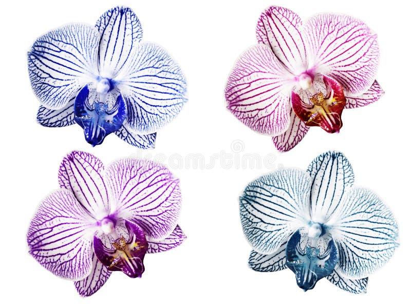 Vastgestelde Orchideeën blauw-witte roze-witte violet-witte turkoois-witte bloemen Geïsoleerd op witte achtergrond met het knippe royalty-vrije stock foto's