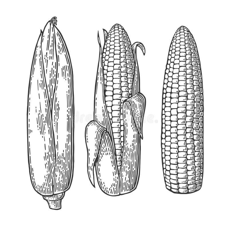 Vastgestelde rijpe maïskolf van graan van gesloten aan schoongemaakt vector illustratie