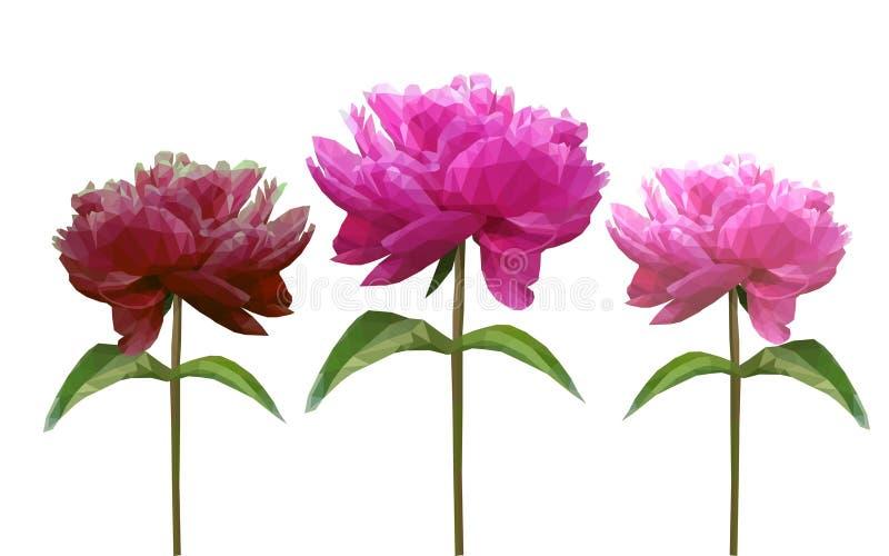 Vastgestelde Veelhoekige pioenbloem op wit royalty-vrije illustratie