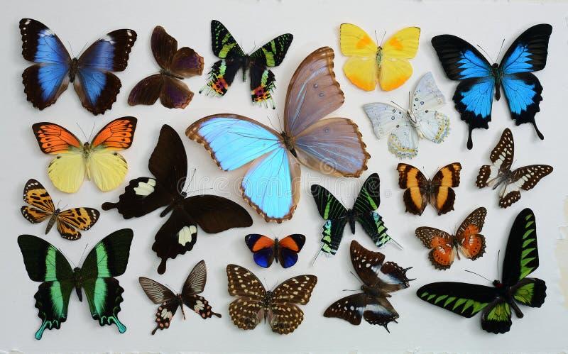 Vastgestelde vlinder stock afbeeldingen