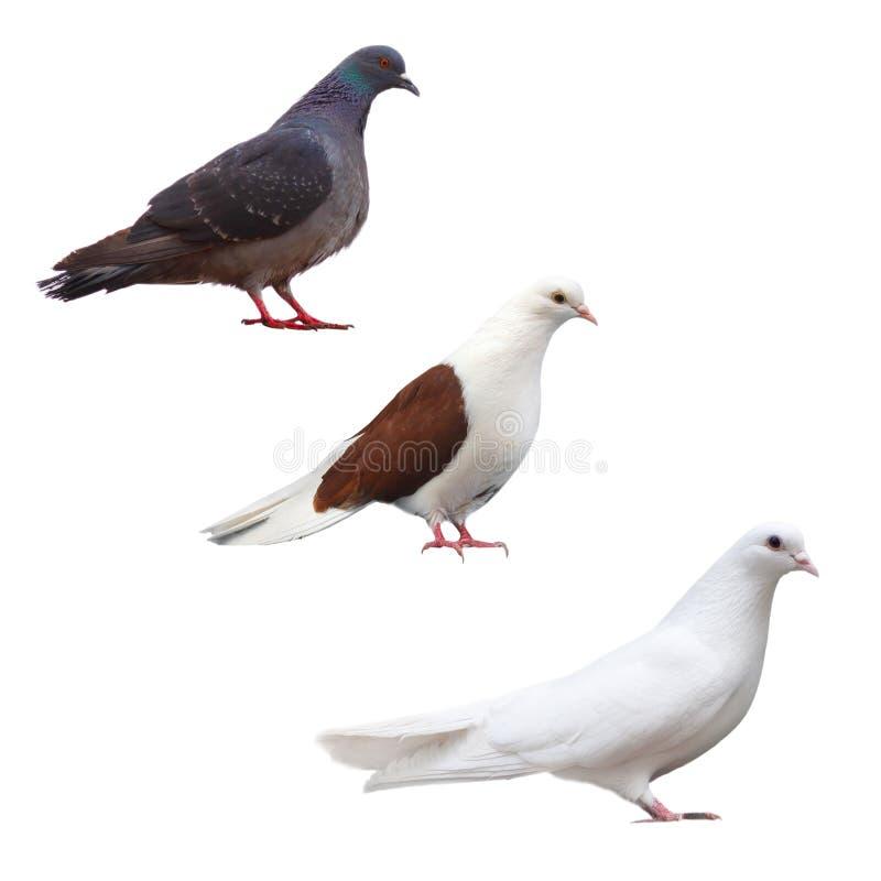 Vastgestelde zwarte inzameling van de duif de duif geïsoleerde vogel royalty-vrije stock fotografie