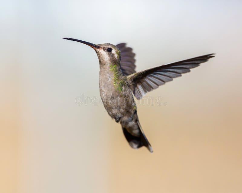 Vasto colibrì fatturato immagine stock