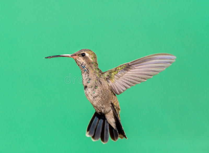 Vasto colibrì fatturato fotografia stock libera da diritti