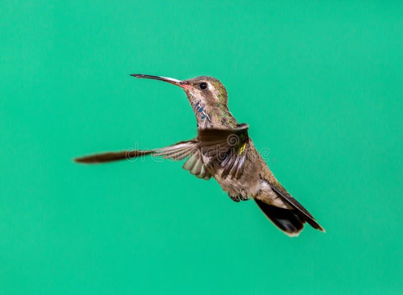 Vasto colibrì fatturato immagini stock