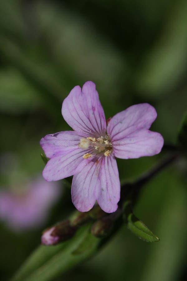 Vasto fiore leaved del Willowherb fotografia stock libera da diritti