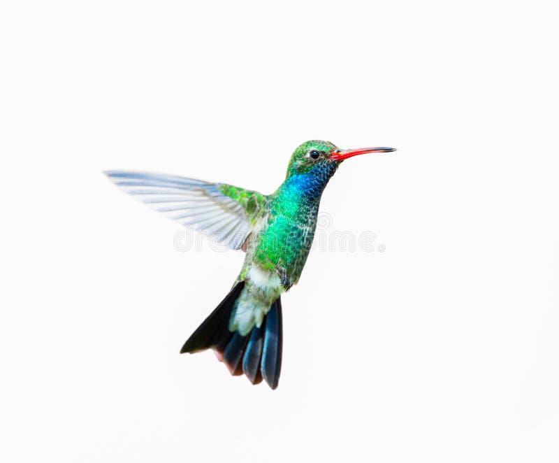 Vasto maschio fatturato del colibrì fotografia stock libera da diritti
