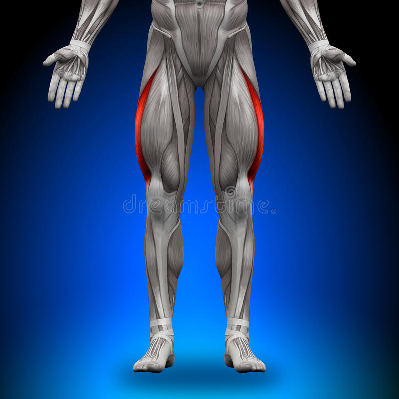 Vastus Lateralis - мышцы анатомии иллюстрация вектора