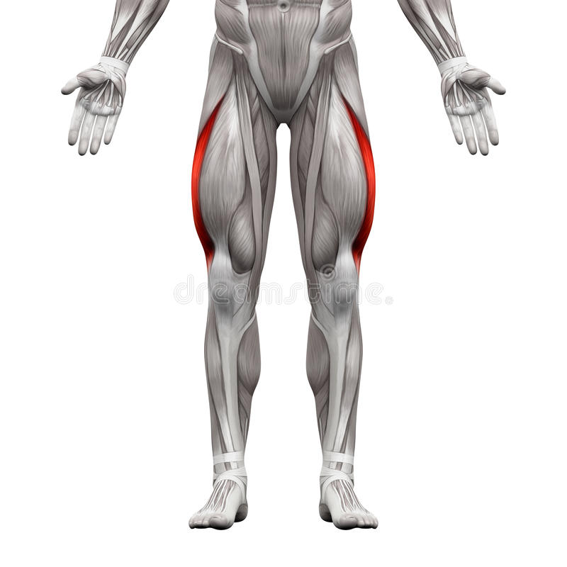 Vastus Lateralis Muscle - Anatomy Muscles Isolated On White - 3D ...