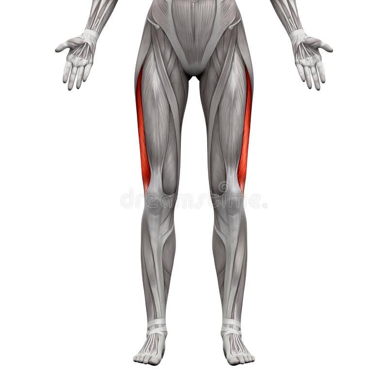 Vastus Lateralis-Muskel - Anatomie-Muskeln Lokalisiert Auf Weiß- 3D ...