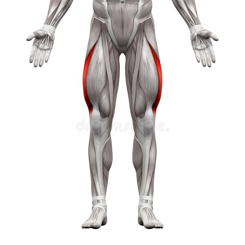 Vastus Lateralis-Spier - Anatomiespieren op 3D die wit worden geïsoleerd - stock illustratie
