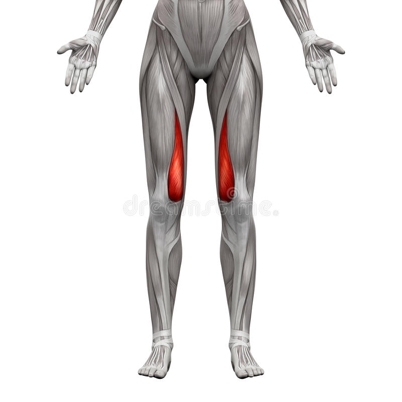Vastus Medialis肌肉-在白的3D隔绝的解剖学肌肉 皇族释放例证
