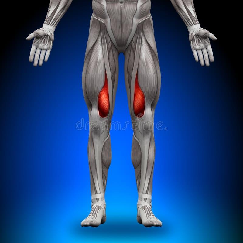 Vastus Medialis - Anatomie-Muskeln Stock Abbildung - Illustration ...