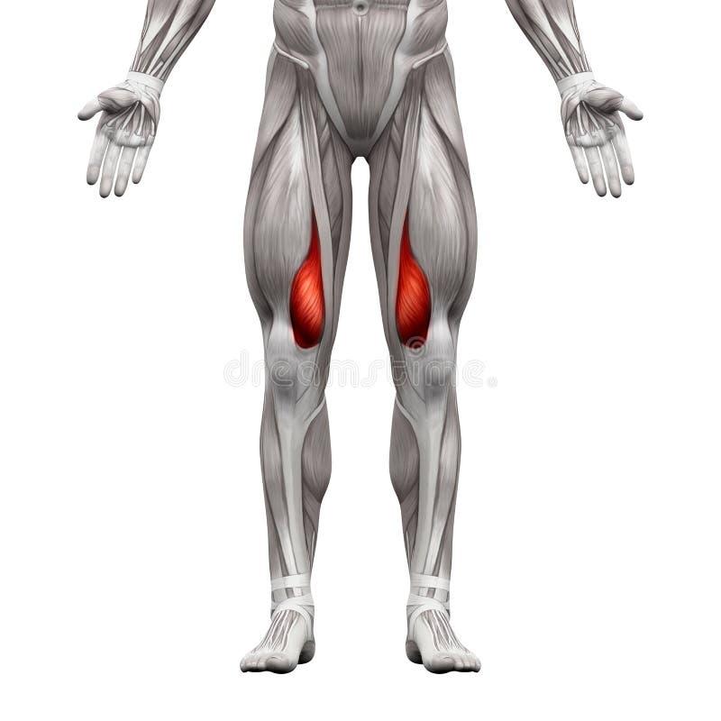 Berühmt 3d Knieanatomie Fotos - Menschliche Anatomie Bilder ...