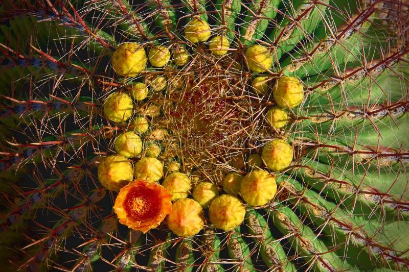 Vatcactus met oranje bloem in ring van gele knoppen stock fotografie