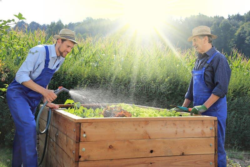 Vater und Sohn, die auf einem angehobenen pflanzenden Bett in einem Garten im Garten arbeiten stockbilder