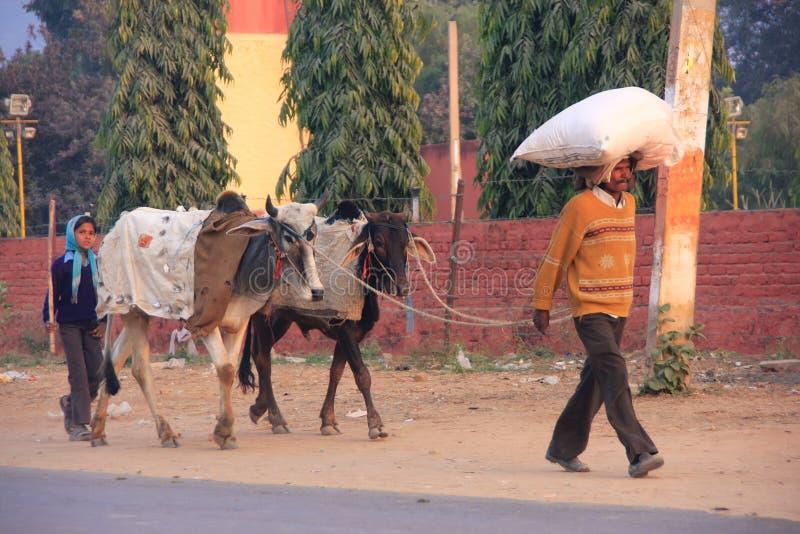 Vater und Tochter, die die Straße mit Kühen, Sawai Madhop entlanggehen stockfoto