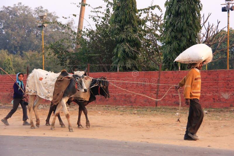 Vater und Tochter, die die Straße mit Kühen, Sawai Madhop entlanggehen stockbild