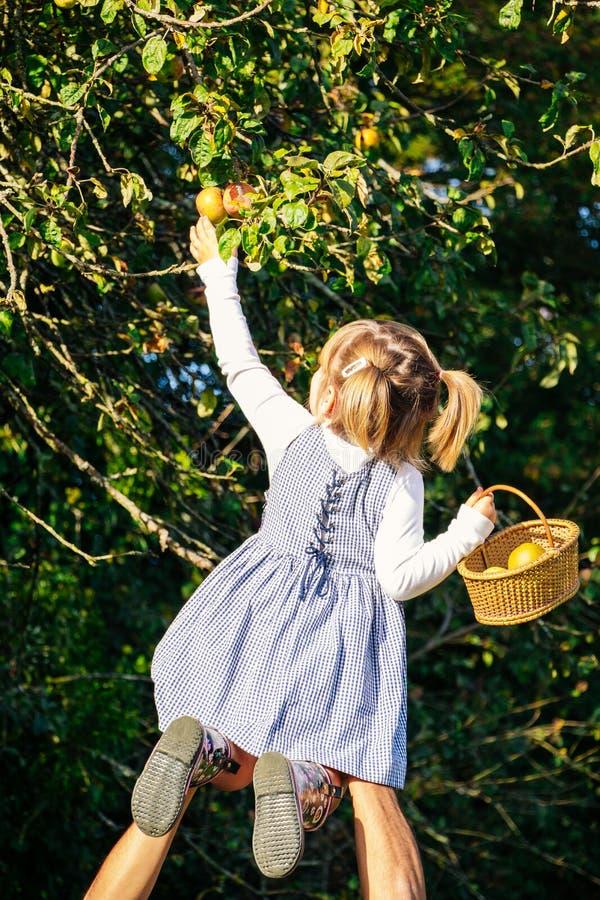 Vati helfendes todler zur Ernte von Äpfeln vom Baum lizenzfreie stockbilder