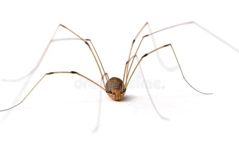 Vati-lange Fahrwerkbein-Spinne lizenzfreie stockfotografie
