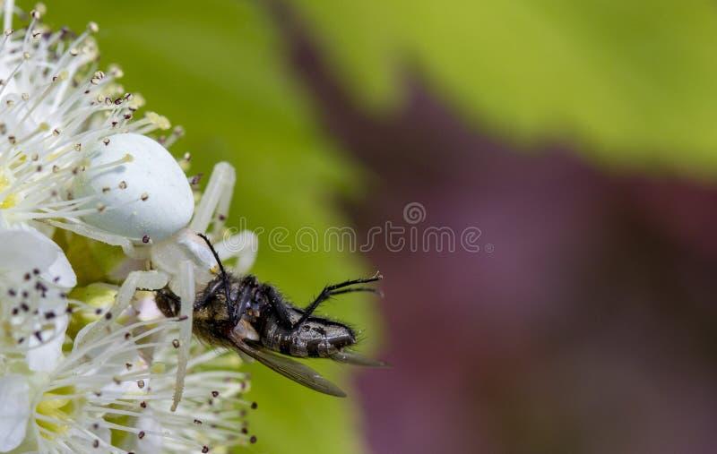Vatia blanc de Misumen d'araignée de crabe et son ount de proie d'insecte Sur une fleur blanche de spirea photo libre de droits