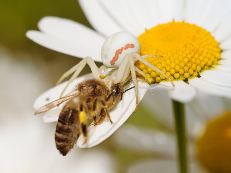 Vatia giallo carico di Misumena del ragno del granchio immagine stock libera da diritti