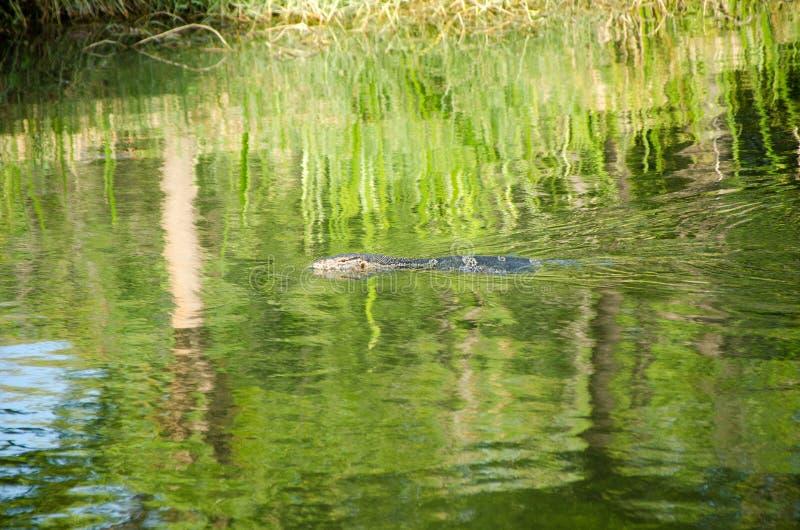 vatten bildskärm, salvator, djur, flod, natur, asiat, djurliv, drake, naturligt, tropiskt som är lös, rovdjur, bakgrund, varanus, arkivfoton