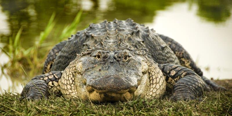 vatten för alligatorkant s royaltyfria bilder