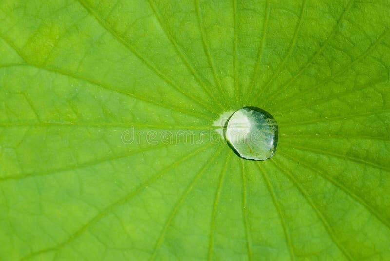 vatten för droppleaflotusblomma royaltyfri foto