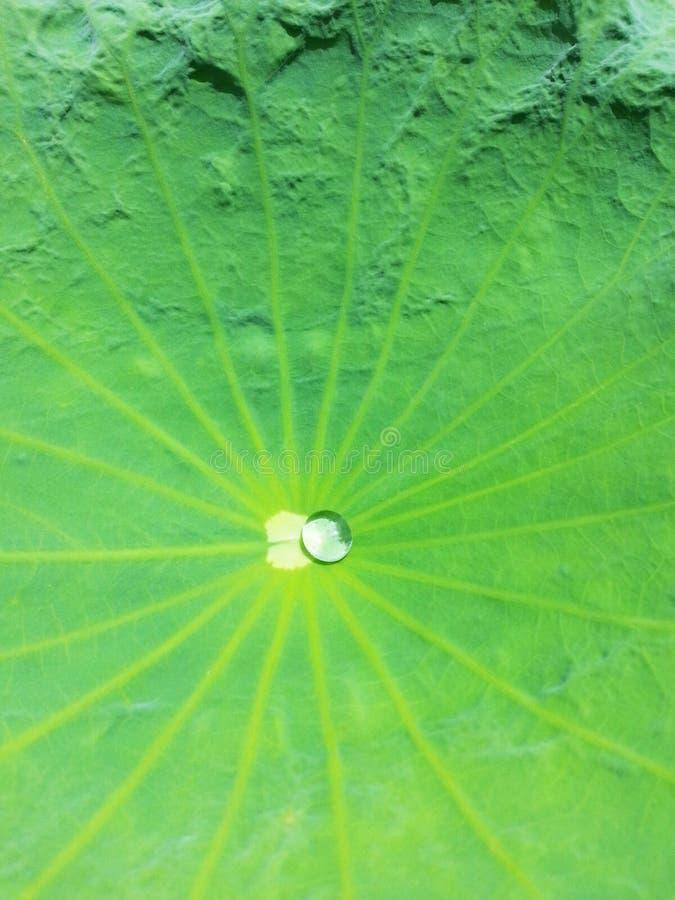 vatten för droppleaflotusblomma arkivbild