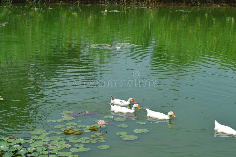 Vatten för gruppandlek royaltyfri fotografi
