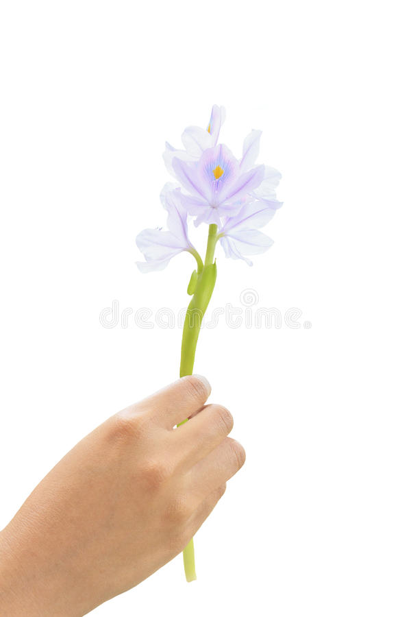 vatten för hyacint för blommahandholding arkivfoton