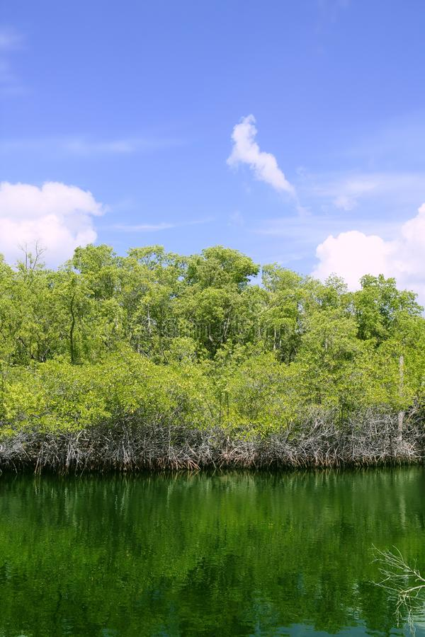 vatten för mangroove för detaljflorida grönt tangenter arkivfoto