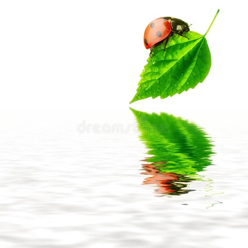 vatten för natur för begreppsnyckelpigaleaf rent arkivbild