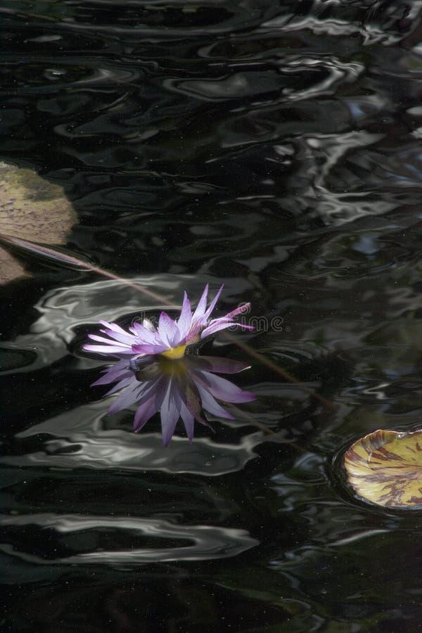 Vatten Lily Flower i lavendel mot mörkt vatten och reflexioner arkivfoto