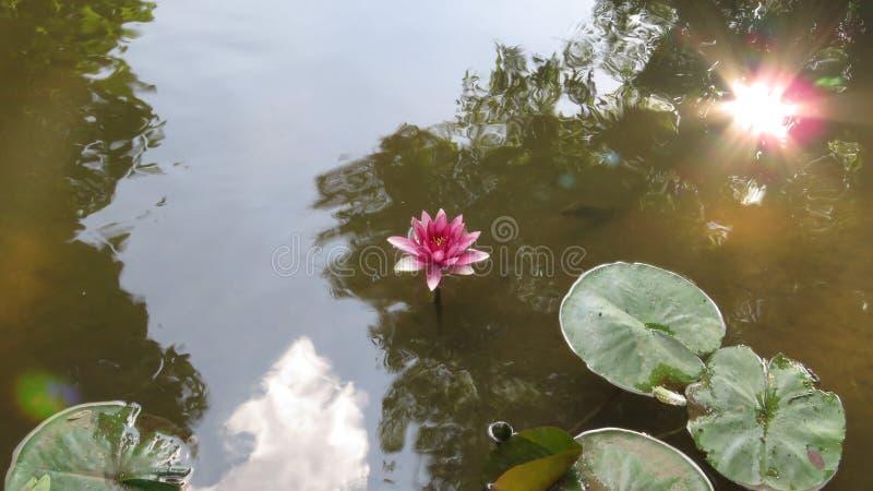 Vatten Lily Violet Coloured i en naturlig livsmiljö royaltyfria bilder