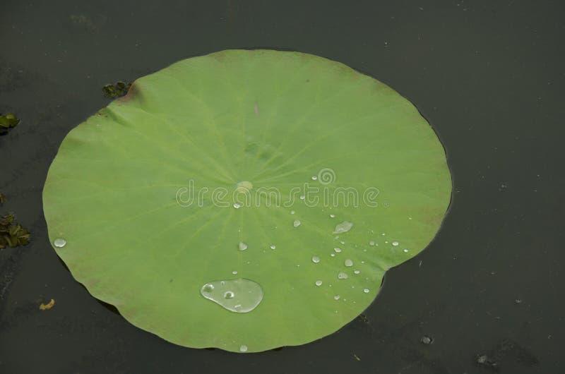 Vatten på en lotusblommabladrullning royaltyfria bilder