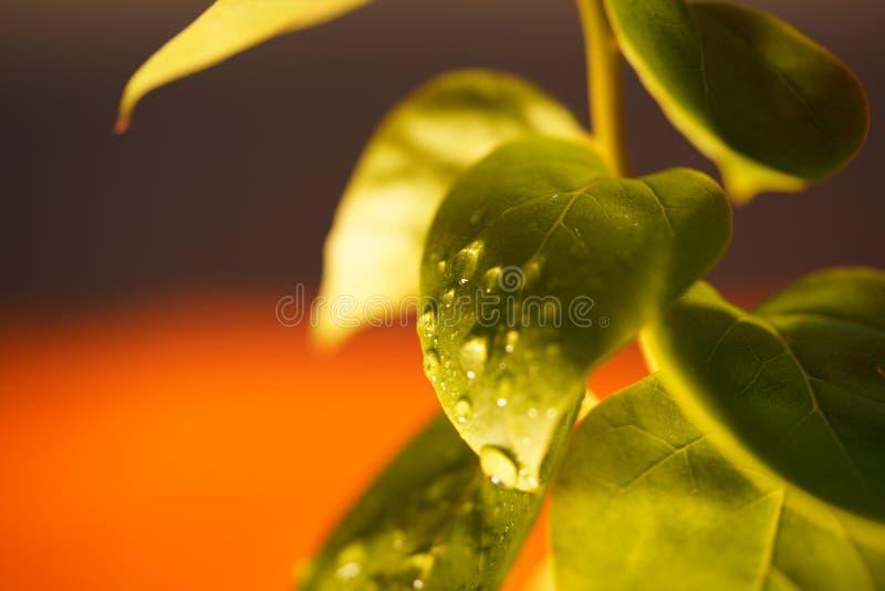 Vatten tappar på bladväxten arkivfoto