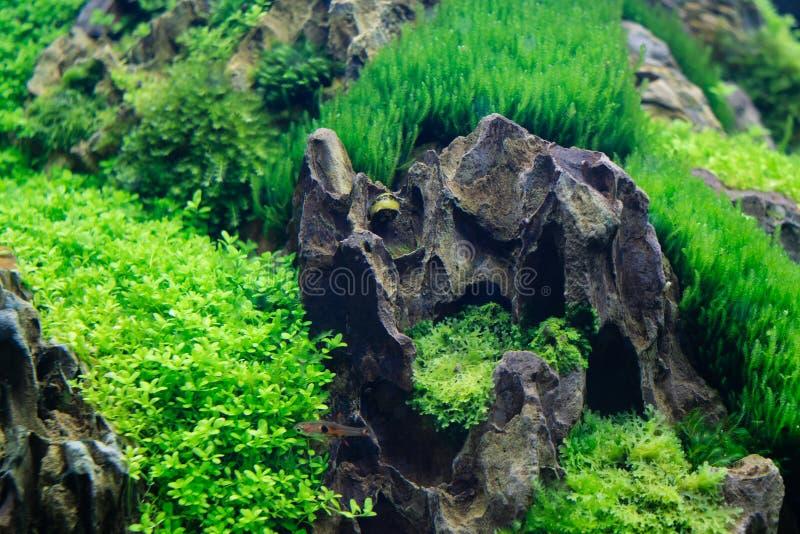 Vatten- växter för härligt sötvattens- akvarium med den horned Nerite snigeln ( Clithon corona) och akvariefisk fotografering för bildbyråer
