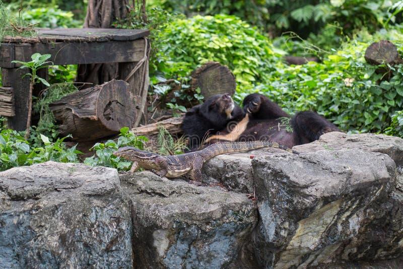 Vattenbildskärm och svart björn i dusitzoo, Thailand arkivfoto