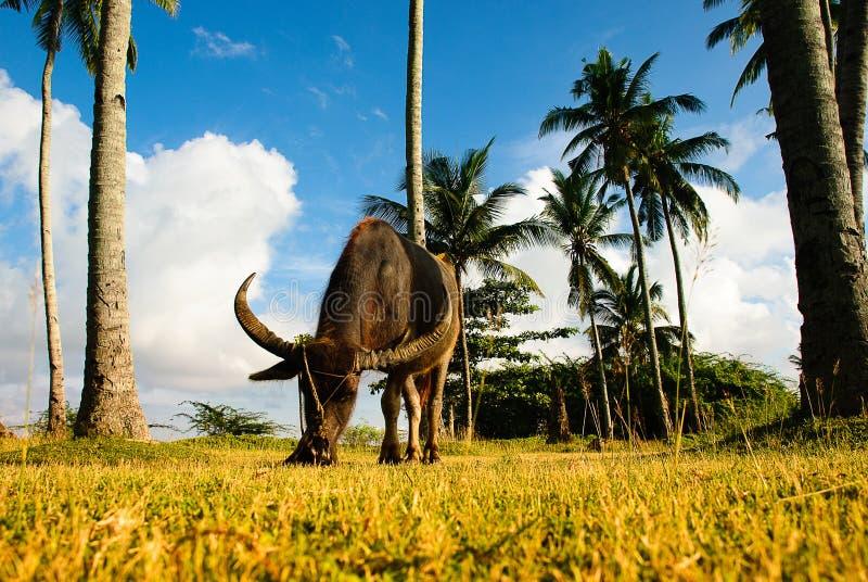 Vattenbufalo som äter gräs under kokospalmen arkivfoto
