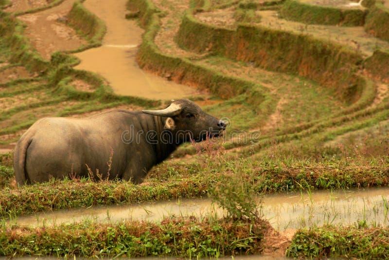 Vattenbuffel som fridfullt stirrar i Lao Chai, Sa-PA, Vietnam royaltyfria foton