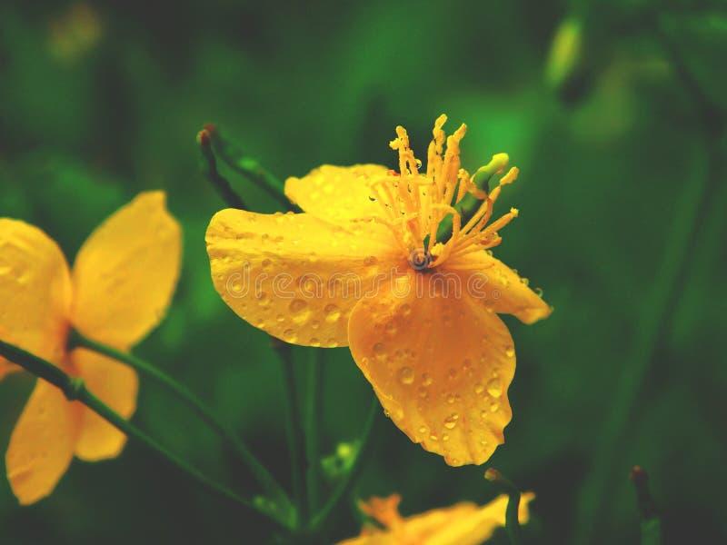 Vattendroppar på den gula blomman arkivbild