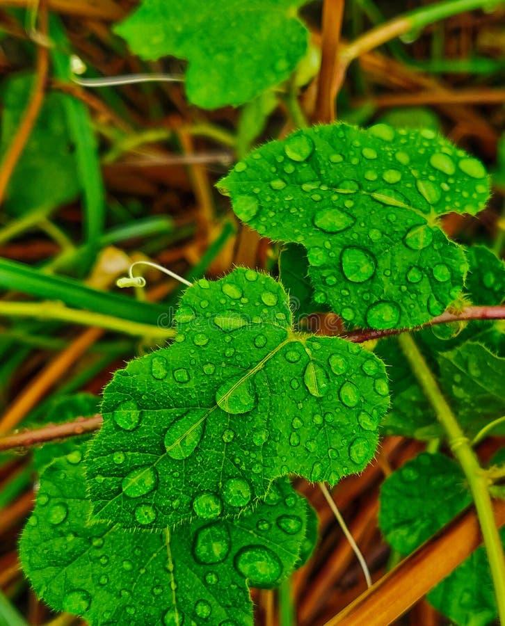 Vattendroppar på det gröna bladet, når att ha regnat arkivfoto